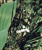 Ландыш майский листья 50 г.
