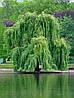 Верба (саженец 120-180 см)