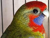 Папуга Пенантовая розелла (самка).