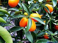Кумкват Маргарита (Fortunella Margarita) 50-55 см. Комнатный, фото 1