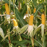 Семена кукурузы Евро 301 МВ (МАИС) ФАО 290