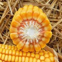 Семена кукурузы ДМ Стикер (МАИС) ФАО 250