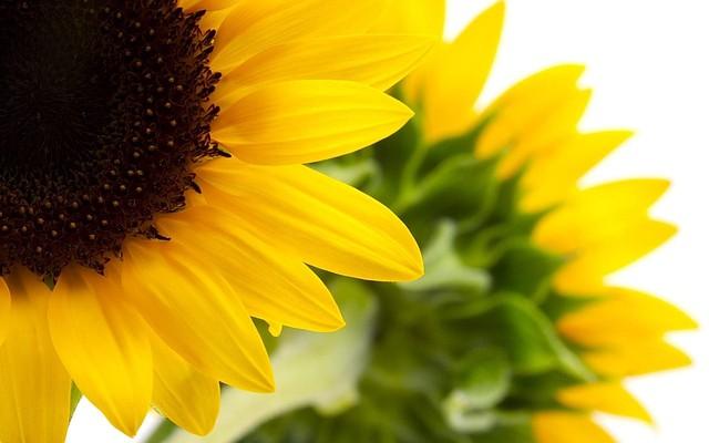 Семена подсолнечника Pioneer - ООО Торговый Дом Агролига: сеялки, культиваторы, запчасти, семена, средства защиты растений в Кропивницком