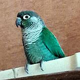 Попугай Пиррура, фото 2