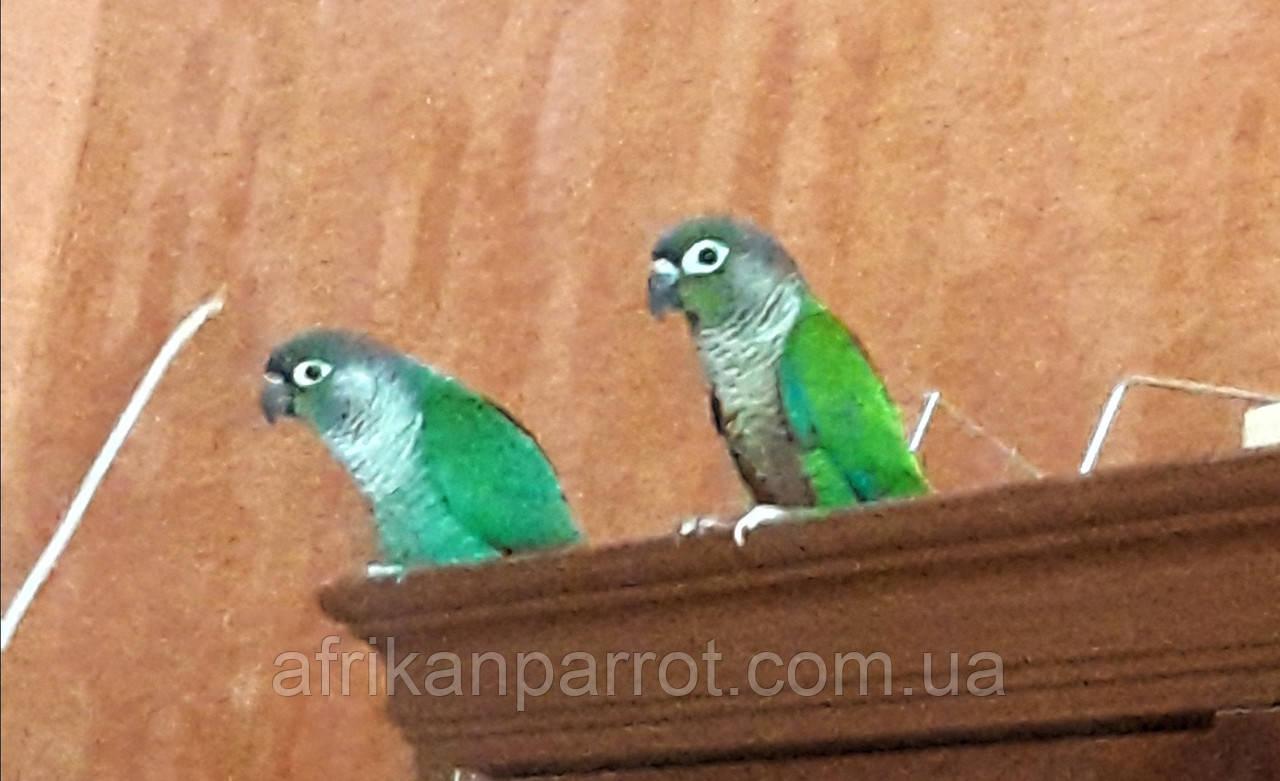 Папуга Пиррура