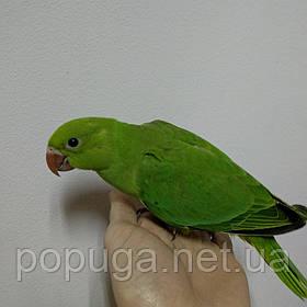 Ожереловый попугай, птенец
