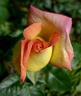 """Роза """"Чайная"""" бутоны сухие цветки  50 г."""