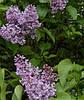 Сирень обыкновенная цветки сухие 50 гр.