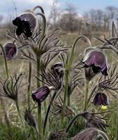 Сон-трава (прострел поникший) цветки 50 г.