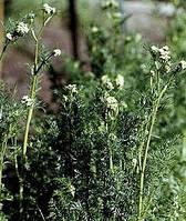 Тмин обыкновенный семена 50 гр.