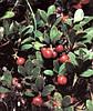 Толокнянка (мучниця,медвежьи ушки) листья 50 г.