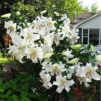 Луковицы лилий Касабланка (Casa Blanka) 1шт, фото 3