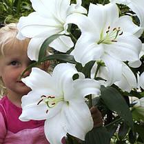Луковицы лилий Касабланка (Casa Blanka) 1шт, фото 2