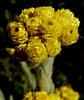 Цмин (бессмертник) цвет 50 г