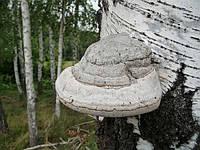 Чага березовая гриб(измельченный порошок) 50 г.