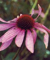 Эхинацея пурпурная цветы 50г
