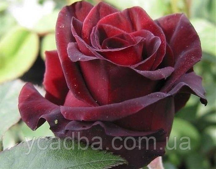 Черный принц цветы купить украина, петлице