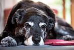 Как подобрать корм для пожилых собак