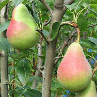 Сорт груші Вікторія - літній сорт