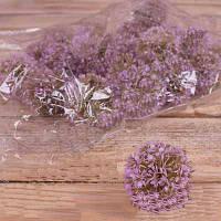 Головка чеснок фиолетовый