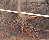 Факторы, влияющие на рост корней