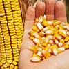 Как удачно выбрать гибрид кукурузы? 7 основных шагов.