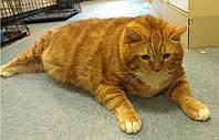 Как подобрать консерву для кошек склонных к полноте