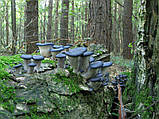 Мицелий Вешенки синий чулок 10 Г, фото 2