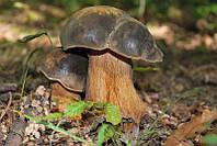 Мицелий Белого гриба тёмно-бронзового, Boletus aereus 100г.