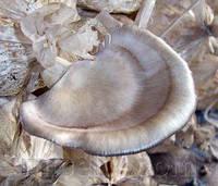 Мицелий Вешенки флоридской, Pleurotus ostreatus Florida 100г.