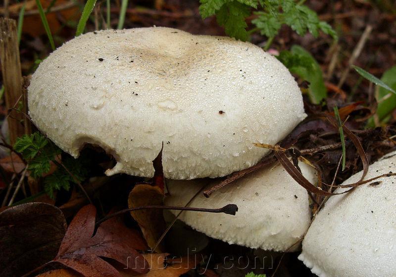 Мицелий Шампиньона крупноплодного, Agaricus macrosporus 100г.