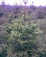 Ель обыкновенная (Pícea ábies) высотой 3,0м