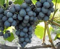 Саджанці винограду МУСКАТ ДОНСЬКИЙ раннього терміну дозрівання