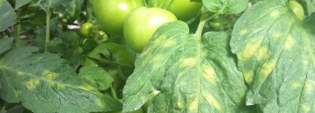 помидоры пятна на листьях
