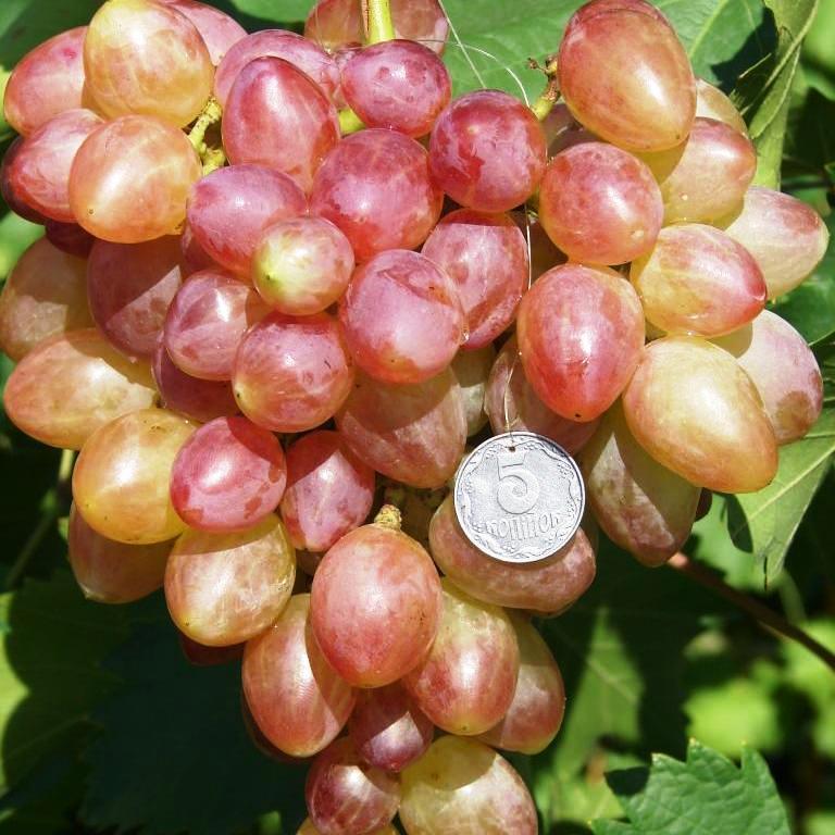 Саженцы Винограда Прометей - раннего срока, урожайный, морозостойкий