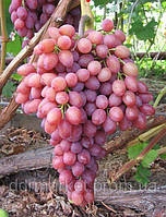 Виноград Кишмиш лучистый (ранне-средний) (черенки)