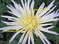 Хризантема Перлынка белая КРУПНАЯ  ИГОЛОЧКА, фото 1