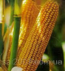 Насіння кукурудзи: НС-208,НС 101,НС 300,НС-4010