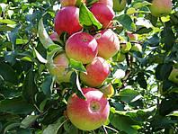 Камера для яблок (фруктов)