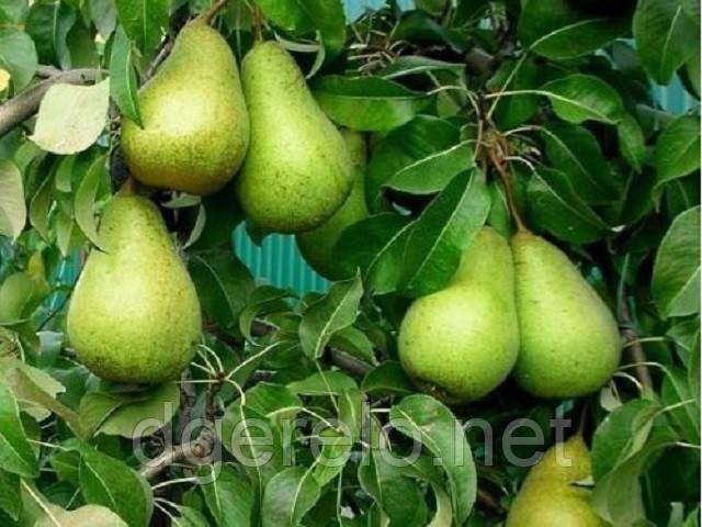 Саджанці груші Стрийська - зимовий сорт