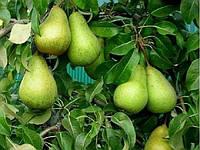 Сорт груши Стрийская (зимний)
