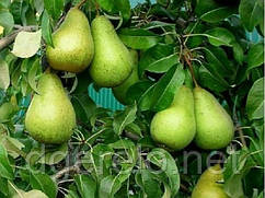 Саженцы груши Стрийская - зимний сорт