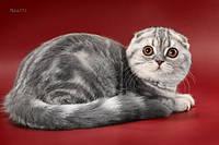 Шотландские вислоухие и прямоухие мраморные котята