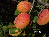 Саженцы абрикоса сорт Масис