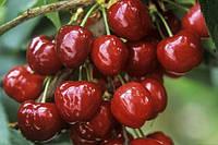 Черешня  Крупноплодная (среднепоздниний), фото 1