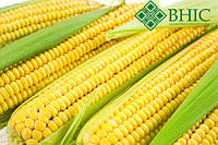 АМАРОК 290 семена кукурузы (ФАО 290)