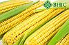 ГРАН 310 семена кукурузы (ФАО 250)