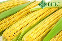 ГРАН 6 семена кукурузы (ФАО 300)