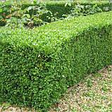 Самшит вечнозеленый BUXUS SEMPERVIRENS (голый корень), фото 3