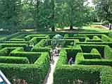 Самшит вечнозеленый BUXUS SEMPERVIRENS (голый корень), фото 4